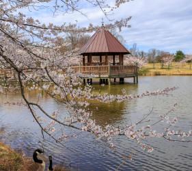 Spring Meadowlark Gardens Cherry Blossoms Virginia