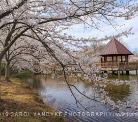 Spring Cherry Trees Blossoms Gazebo Meadowlark Gardens