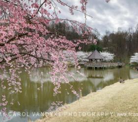 Cherry Blossoms Meadowlark Gardens Virginia