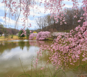 cherry trees blossom Meadowlark Gardens Virginia