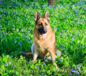 bluebell wildflowers german shepherd dog
