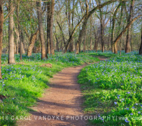 trail path bluebell wildflowers