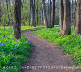 walking trail path bluebell wildflowers Bull Run Va