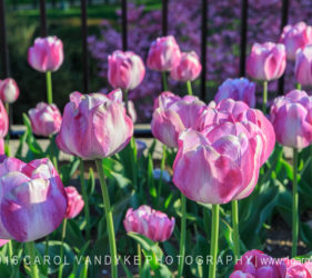 DC Pink Tulips