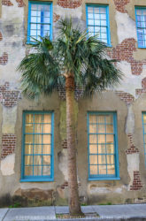 Charleston, SC, Palm Tree,