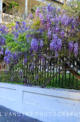 wisteria, iron railing, Charleston, South Carolina