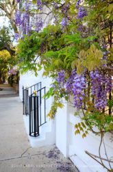 Purple wisteria, iron railings, Charleston, South Carolina