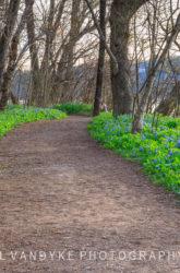 bluebell wildflowers, hiking trail, Riverbend Park, Great Falls, VA