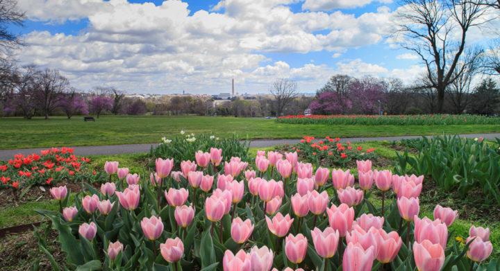 Pink Tulips, Netherland Carillon, Arlington Ridge Park, VA, spring