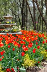 orange tulips, Meadowlark Gardens, spring