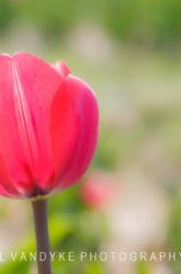 pink tulip, beauty, simplicity, spring