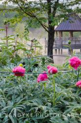 flowers, peonies, Meadowlark Gardens, Virginia, spring. fog