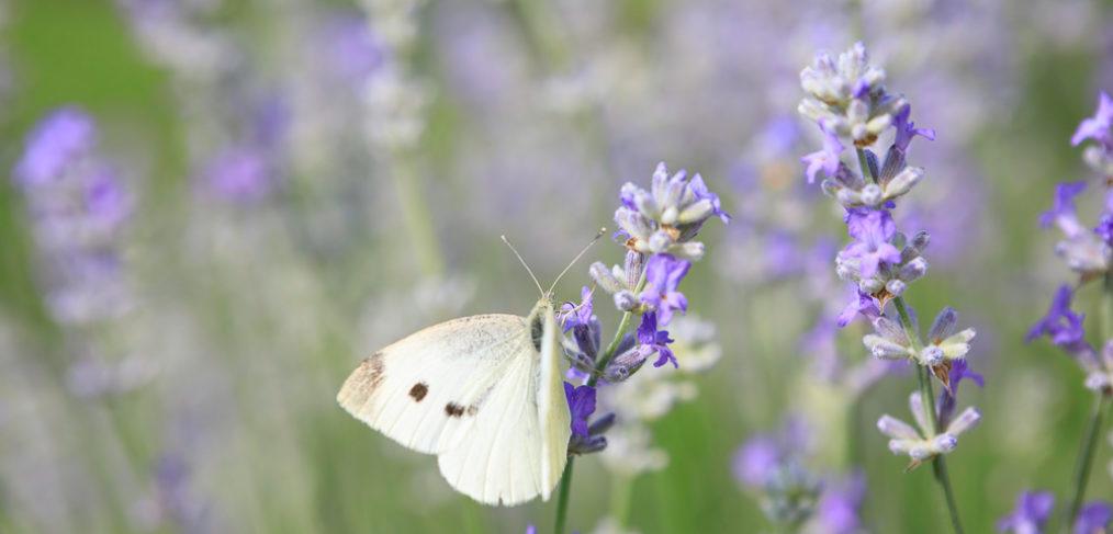 Lavender Farm Catlett VA