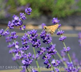 Soleado Lavender Farm, Maryland