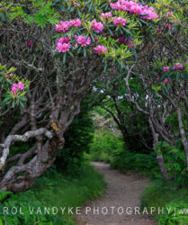 Trail to Craggy Pinnacle, rhododendron thicket
