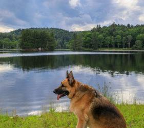 Bass Lake, German Shepherd Dog