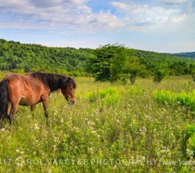 wild pony, Grayson Highlands