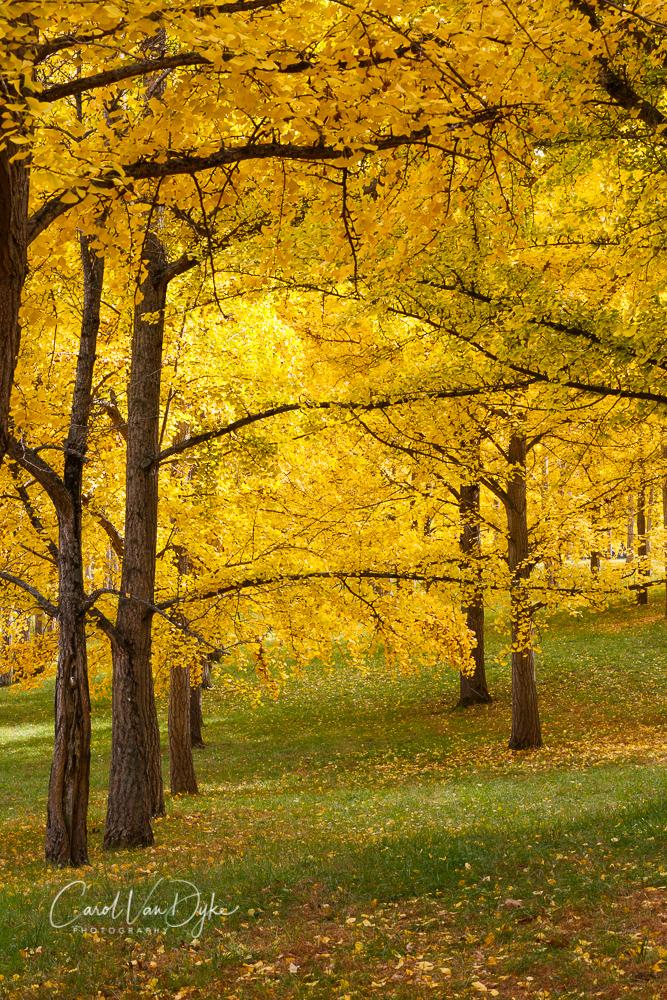 Ginkgo Grove VA State Arboretum